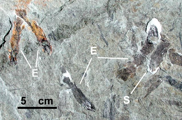 Juvenile fish in the Escuminac Formation